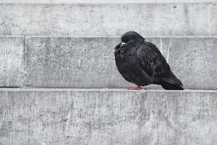 single pigeon